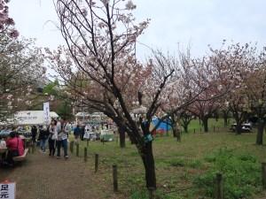 Cherry var Wasemiyako/ ワセミヤコ 花の咲いている木の様子