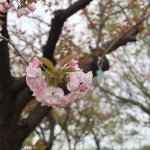 Cherry var. Manoga マノガ 花の咲いている様子
