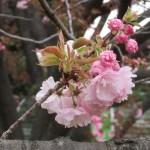 Cherry var. Itokukuri イトククリ 花の様子
