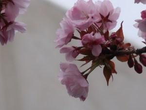 Cherry var. Yae-murasakizakura ヤエムラサキザクラ 花の姿