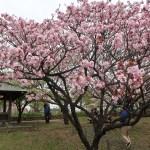Cherry var. Yae-murasakizakura ヤエムラサキザクラ 花の咲いている木の様子