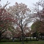 Cherry var. Senrikou センリコウ 花の咲いている木の様子