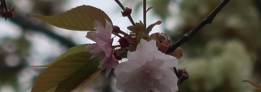 Cherry var. Hiyodorizakura ヒヨドリザクラ