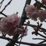 Cherry var. Hokusai ホクサイ 花の様子