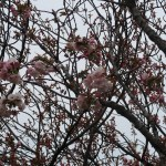Cherry var. Hokusai ホクサイ 花の咲いている様子