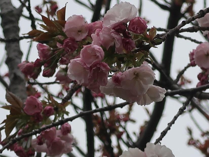 Cherry var. Hokusai ホクサイ
