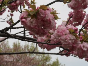 Cherry var. Edo エド 江戸系 花の様子
