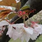 Cherry var. Taoyame/ タオヤメ 手弱女 花の姿 横側