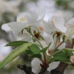 Chinese crabapple/ ヒメリンゴ