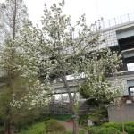 Chinese crabapple/ ヒメリンゴ 花の咲いている木の様子