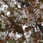 Cherry var. Kouhokunioi/ コウホクニオイ 花の咲いている様子