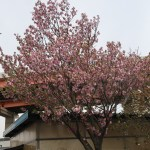 Cherry var. Beniyutaka ベニユタカ 花の咲いている木の様子
