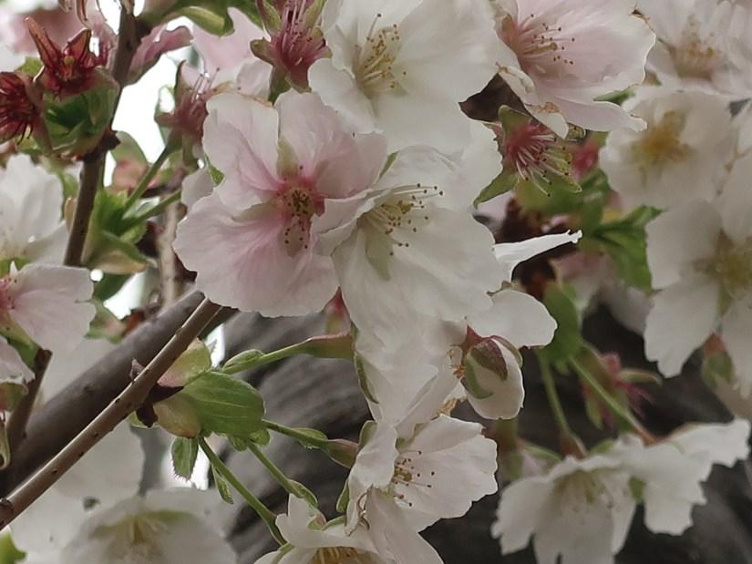 Cherry var. Usuzumi/ ウスズミ