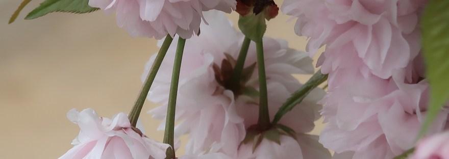Cherry var. Taizanfukun タイザンフクン