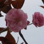 Cherry var. Kirin キリン 花の姿