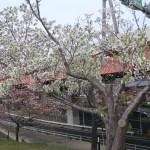 Cherry var. Hosokawanioi ホソカワニオイ 花の咲いている木の様子