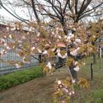 Cherry var. Benigasa ベニガサ 花の咲いている様子