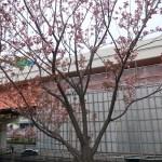 Cherry var. Wabihito ワビヒト 花の咲いている木の様子