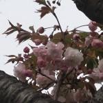 Cherry var. Benigasa ベニガサ 花の様子