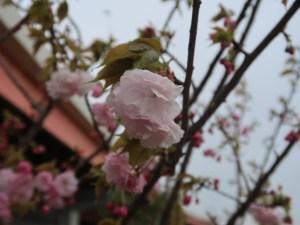 Cherry var. Washinowo ワシノオ 花の様子