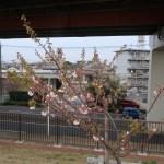 Cherry var. Washinowo ワシノオ 花の咲いている木の姿(若木)