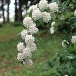 Meadow sweet/ こでまり花の様子