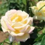 Modern garden rose/ Hybrid Tea/ Peace ピース