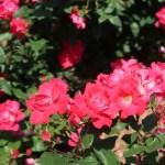 Modern garden rose/ Floribunda/ Knock out ノックアウト 花の咲いている様子