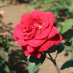 Modern garden rose/ Hybrid Tea/ Ingrid Bergman イングリッドバーグマン