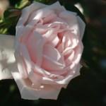 Modern garden rose/ Climbing/ New dawn ニュー・ドーン 花の姿