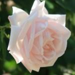Modern garden rose/ Climbing/ New dawn ニュー・ドーン