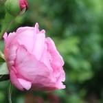 Modern garden rose/ Climbing/ Pierre de Ronsard ピエール・ドゥ・ロンサール 花の様子