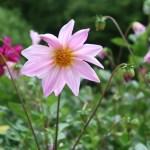 Dahlia/ ダリア 花の姿