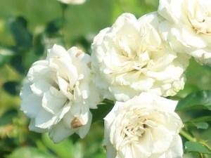 Modern garden rose/ Landscape Roses/ Vanilla Bonica バニラボニカ