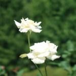 Modern garden rose/ Hybrid Tea/Pascali パスカリ 花の様子