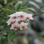 Miniature wax plant/ ホヤベラ 花の姿