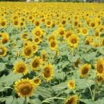 Sunflower/ ヒマワリ 花の咲いている様子