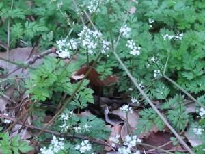 Chamaele decumbens/ セントウソウ 花の咲いている様子
