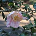 Japanese camellia/ ツバキ 品種:玉霞