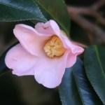 Japanese camellia/ ツバキ 品種:数奇屋