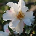 Japanese camellia/ ツバキ 品種:銀竜