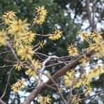 Witch-hazel/ マンサク 花の咲いている様子