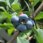 Blueberry/ ブルーベリー実の姿
