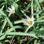 Amana edulis/ アマナ 花の様子