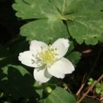 Wind flower/ ニリンソウ 花の姿
