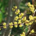 Lindera praecox/ アブラチャン 花の様子