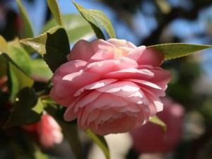 Japanese camellia/ ツバキ オトメツバキ 乙女椿