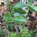 Arisaema ringens/ ムサシアブミ 若い花の芽生え