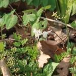 Barrenwort/ イカリソウ 花の咲いている様子