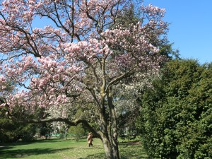Saucer magnolia/ ソトベニハクモクレン 花の咲いている木の様子